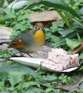 Softbill Pekin Robin